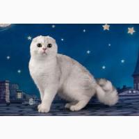 Продажа шотландских вислоухих котят