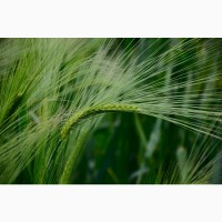 Реализуем зерновые и масленичные культуры