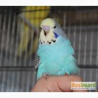 Волнистые попугаи, какрики от заводчика