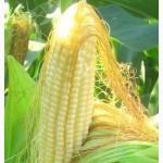 Предлагаем кукурузу