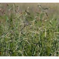ООО НПП «Зарайские семена» продает семена овсяницы луговой