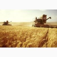Пшеница, зерно продаем франко-вагон FCA