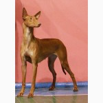 Фараонова собака - щенки