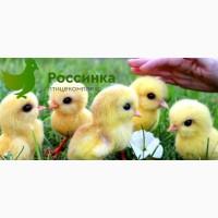 Купить цыплят несушек в Оренбурге и заказать другую с/х птицу