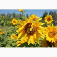 Гибриды семена подсолнечника ЛГ 5580 от (Лимагрейн, Limagrain)
