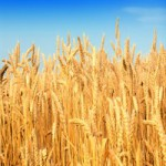 Реализация пшеницы 3 класса