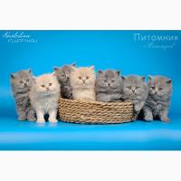 Купить длинношерстного котенка в Москве