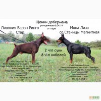 Щоберманы щенки питомник со Станицы Магнитная