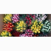 Тюльпаны Свежесрезанные Оптом