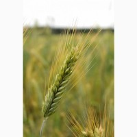 Семена озимого тритикале новый высокоурожайный сорт Тихон