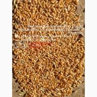 Пшеница 3 класса мягких сортов с клейковиной от 23 до 25%