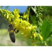 ООО НПП «Зарайские семена» предлагает семена донника желтого оптом и в розницу