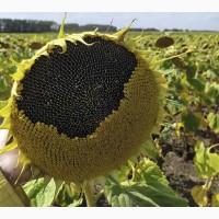 Семена подсолнечника раннеспелый сорт Белочка