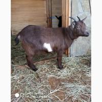 Продам Ч.П.Камерунскую козу