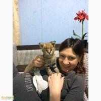 Сервал котята