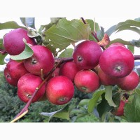 Морозостойкие саженцы Бурятии. Плодово-ягодный питомник Баргузин