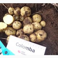Семенной картофель сорт Коломба