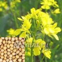 Семена горчицы белой продаём оптом от 1 тонны
