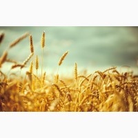 Семена пшеницы озимой : Донская Лира, Магия, Миссия, Дон Стар, Губернатор Дона