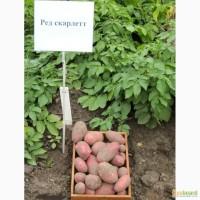 Семенной картофель Рэд Скарлет