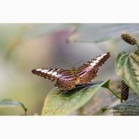 Восхитительные Живые Бабочки изФилиппин