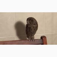 Сплюшка или карликовая сова