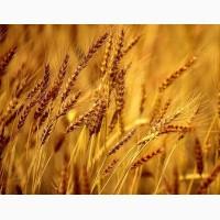 ООО НПП «Зарайские семена» закупает семена ржи многолетней от 20 тонн