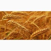 Семена пшеницы озимой :Лилит, Изюминка, Ермак, Аскет, Капитан