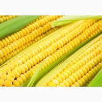 Семена кукурузы сорт воронежский 160