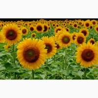 Гибриды семена подсолнечника НК Неома, Санай, Тристан (Сингента, Syngenta) (Clearfield)