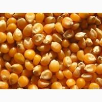 ООО «Атлантис» реализует цельную, колотую и дробленую фуражную кукурузу