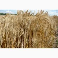 ООО НПП «Зарайские семена» продает семена пшеницы озимой