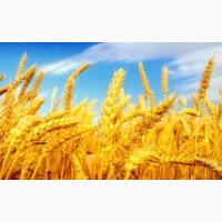 Семена пшеницы озимой : Находка, Зерноградка 11, Донская Юбилейная, Аксинья