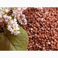 ООО НПП «Зарайские семена» реализует семена гречихи оптом