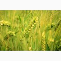 Продаем семена ржи озимой урожая 2019