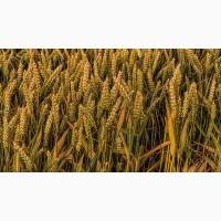 Семена пшеницы озимой : Дон Эра, Золушка, Августа, Дон Эко