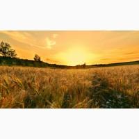Семена озимой пшеницы ЭС, РС-1