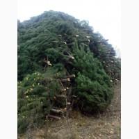 Новогодние живые елки, сосны, искусственные елки оптом