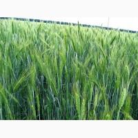 Семена тритикале озимой продажа оптом от 1 тонны