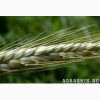 Тритикале озимой урожая 2019 года