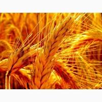Семена пшеницы озимой : Краса Дона, Станичная, Лидия