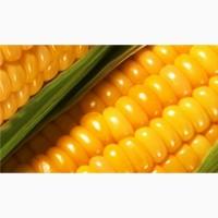ООО НПП «Зарайские семена» продает семена гибридов кукурузы на кормовые цели оптом