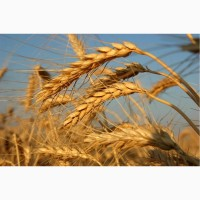 Семена пшеницы озимой урожая 2020 года