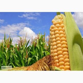 Гибриды семена кукурузы ПР39Ф58 (Пионер, Pioneer) ФАО270
