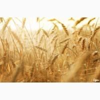 Семена пшеницы озимой : Жива, Юбилейная 100, Антонина, Баграт