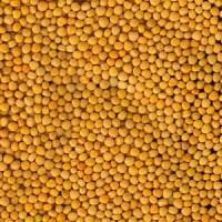 Продаём семена горчицы желтой Сарепская