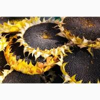 Семена подсолнечника на посевную 2021 (сорта и гибриды)