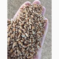 Семена озимой пшеницы сорт Зерноградка11, Изюминка, Находка ЭС/РС1/РС2
