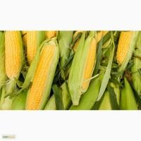 Гибриды семена кукурузы ПР37Н01 (Пионер, Pioneer)