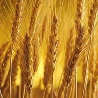ООО НПП «Зарайские семена» продает оптом семена ржи озимой